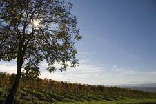 Free Vineyard Landscape In Autumn Stock Photo - 21187260