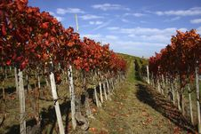 Free Vineyard Landscape In Autumn Royalty Free Stock Photo - 21187365