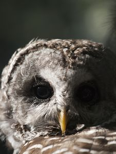 Free Barred Owl Royalty Free Stock Image - 21187416