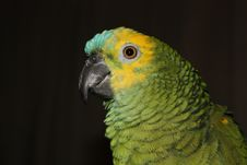 Green Amazon Parrot Stock Images