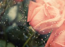Free Pink Roses Stock Photo - 21188300