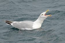 Free Shouting Seagull Royalty Free Stock Images - 21188359