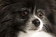Free Pomeranian Royalty Free Stock Photo - 21188595