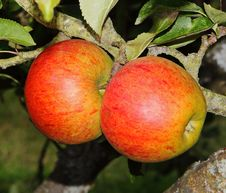 Ripening Apples On A Tree Stock Photography
