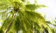 Free Palm Trees Royalty Free Stock Images - 21189029