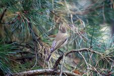 Free Common Chiffchaff Bird Royalty Free Stock Images - 21189049