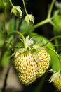 Free Unripe Strawberry Stock Photos - 21190653