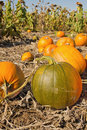 Free Pumpkin Patch Royalty Free Stock Photo - 21191275