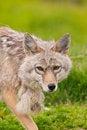 Free Alaskan Red Fox Royalty Free Stock Photos - 21193638