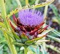 Free Purple Artichoke Flowers Royalty Free Stock Photos - 21194868