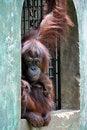Free Orang-utan Royalty Free Stock Photo - 21195365