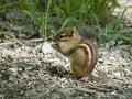 Free Chipmunk Stock Photo - 21196130