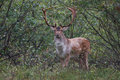 Free Fallow Deer Stock Photos - 21198983