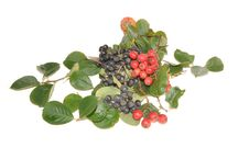 Free Mountain Ash And Hawthorn Berries Stock Photos - 21190043