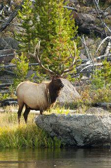 Free Big Bull Royalty Free Stock Photography - 21190257