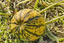 Free Pumpkin Squash In Farm Field Stock Images - 21191804