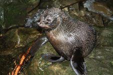 Free Wet Harbor Seal Stock Photo - 21193190