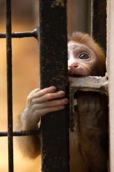 Free Monkey Royalty Free Stock Photography - 21193527
