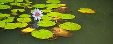 Free Lilly Pads And Flower In Pond Stock Photos - 21194143