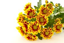 Free Chrysanthemum Flower Stock Images - 21194964