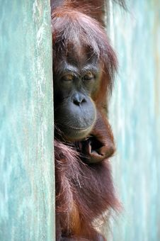 Free Orang Utan Royalty Free Stock Photography - 21195417