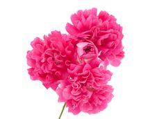 Free Pink Curly Rose Stock Photos - 21196383