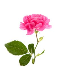 Free Pink Curly Rose Stock Photography - 21196392