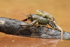 Free Lizard On Crayfish Royalty Free Stock Photo - 21197205