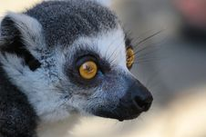 Free Watchful Eye Of The Lemur Stock Images - 21197284