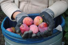 Free Fresh Organic Plums In Woman S Hands Stock Photo - 21198300