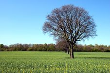 Trees In A Rapeseed Field In Autumn Royalty Free Stock Photos