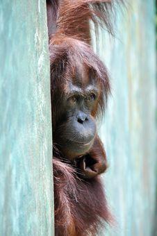 Free Orang-utan Stock Photo - 21198680