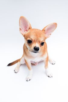 Free Chihuahua Stock Photography - 21199652