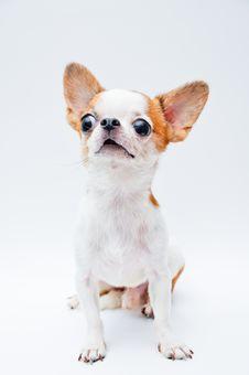 Free Chihuahua Royalty Free Stock Image - 21199666