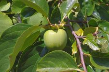 Free Green Fruit Of Persimmon On A Tree Royalty Free Stock Images - 21199799