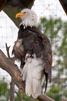Free Bald Eagle Stock Photos - 21199843