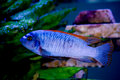 Free Blue Fish Red Fins Royalty Free Stock Photography - 2127927