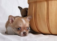 Free Sad Looking Chihuahua Stock Photography - 2120512