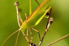 Free Katydid In The Parks Stock Image - 2120971