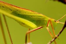 Free Green Katydid Stock Images - 2120974