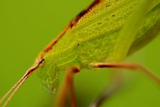 Free Green Katydid Stock Photo - 2120980