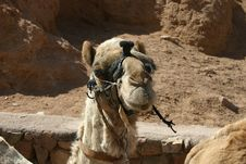 Free Camel Stock Images - 2122204