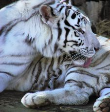 Free White Tiger Stock Images - 2122954