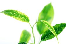 Free Branches Of Ficus. Close Up. Stock Photography - 2123712