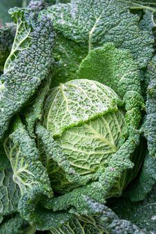 Free Green Lettuce Stock Photo - 2126190