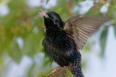 Free Warbling Starling Bird Stock Images - 2127614