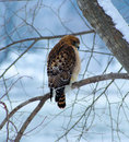 Free Red Shouldered Hawk Royalty Free Stock Images - 21201119