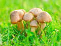 Free Edible Mushrooms Royalty Free Stock Photography - 21203937