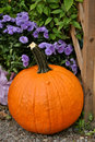Free Large Pumpkin With Purple Mums Stock Images - 21208004