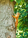 Free Squirrel On The Tree Stock Photos - 21209643
